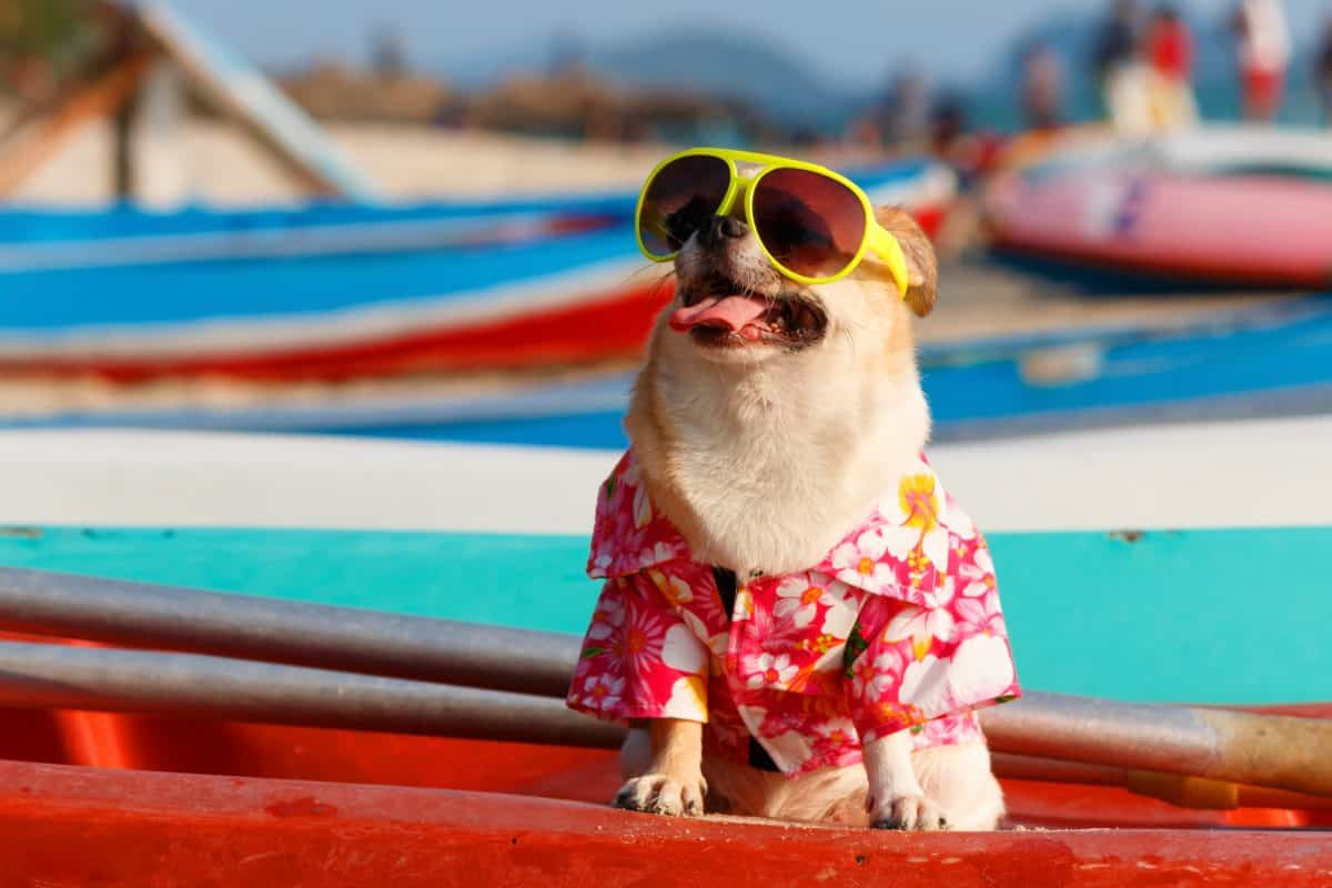 Chihuahua dog wearing pink flower shirt and sunglasses on the beach.