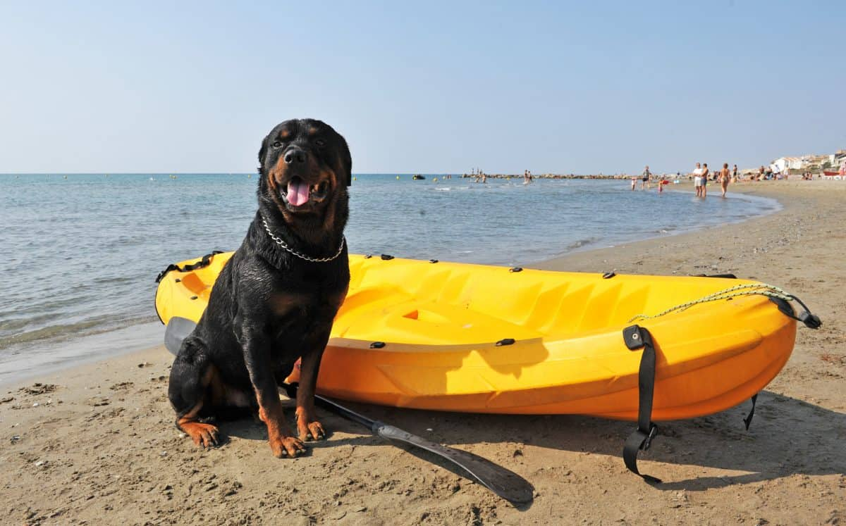 portrait of a purebred rottweiler on the beach standing next to a kayak