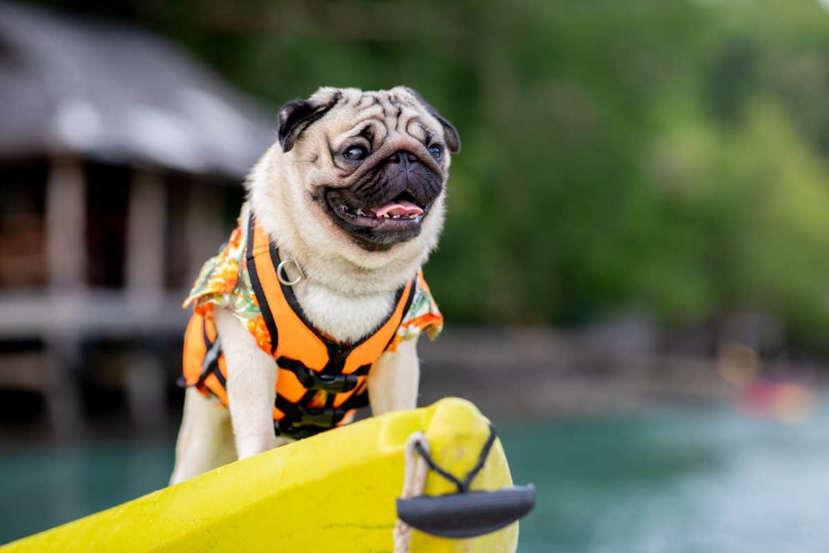 Happy dog pug breed wearing life jacket and standing on kayak feeling so happiness and fun vacations on the beach
