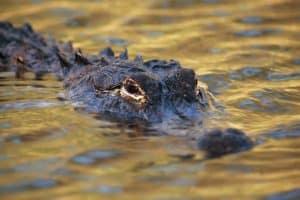 Kayaks and Alligators: kayaking with alligators 101