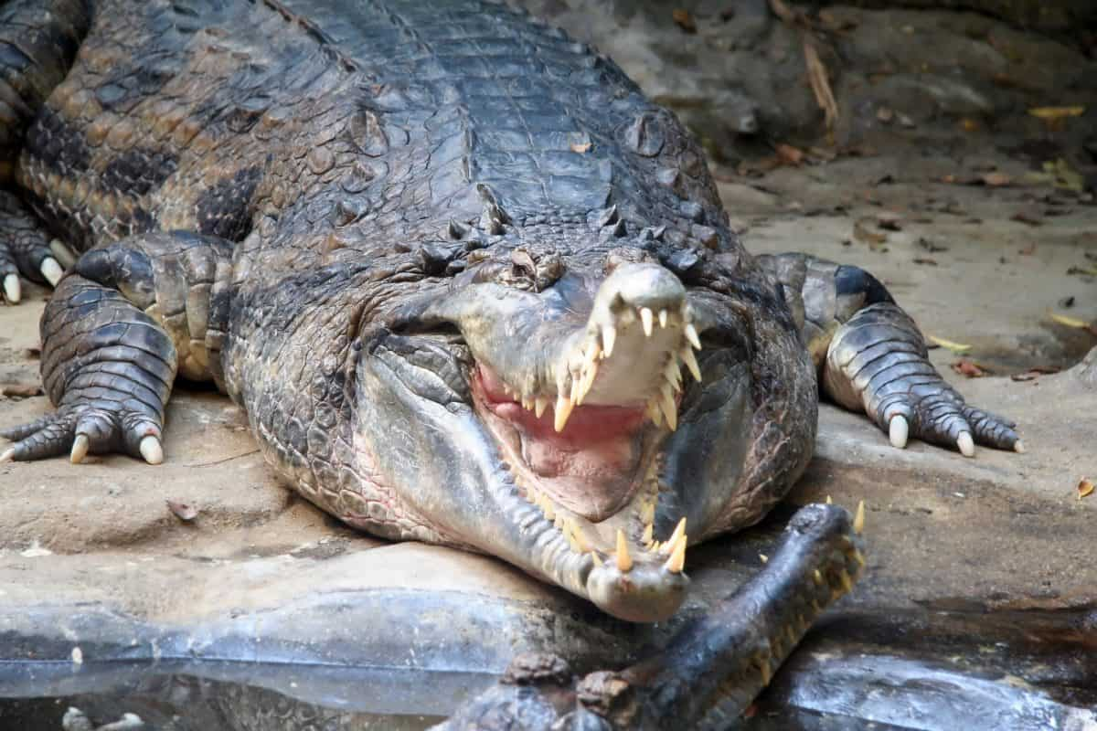 Alligator Ready to Snap Mouth