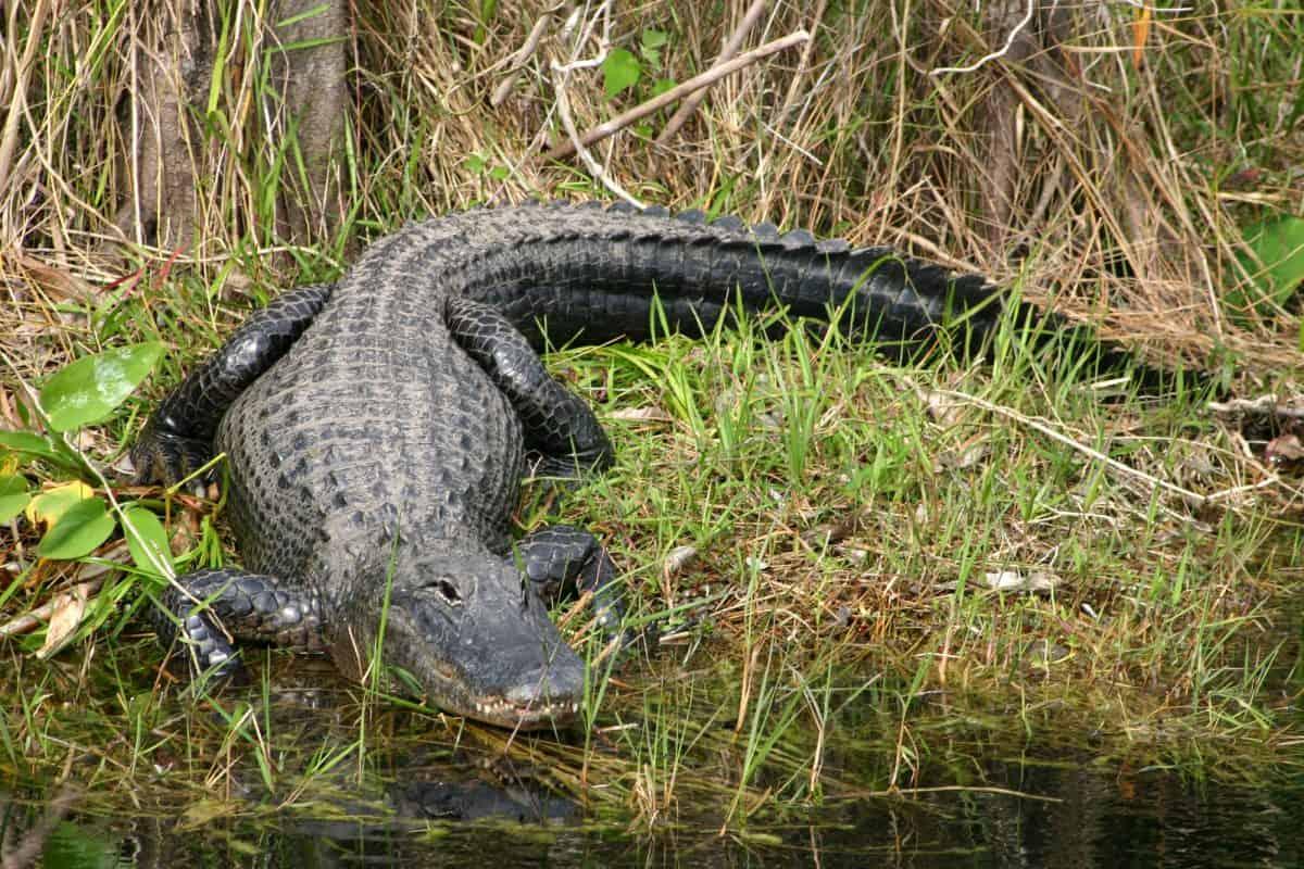 Large Alligator on the rive bank