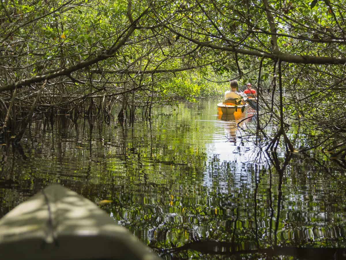 Kayaking with Alligators in mangrove tunnels in Everglades National park, Florida, USA