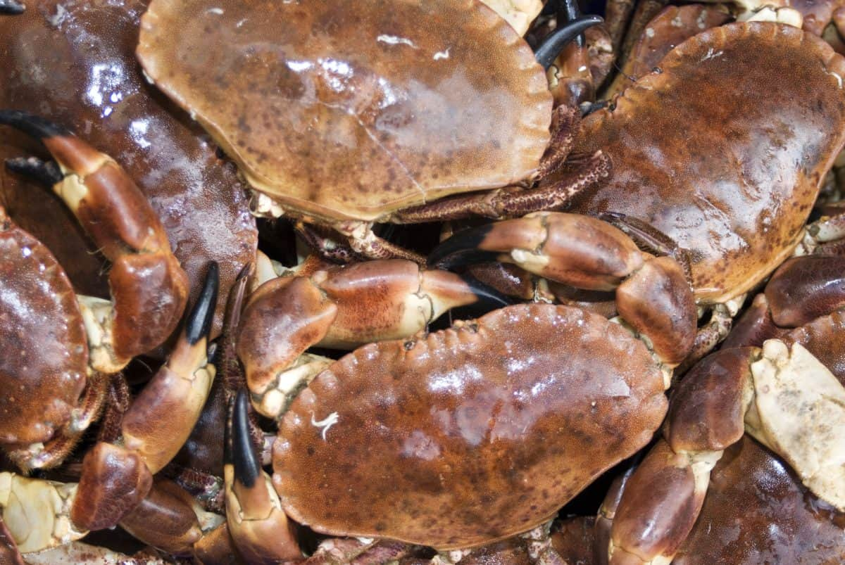 freshly caught dungeness crab