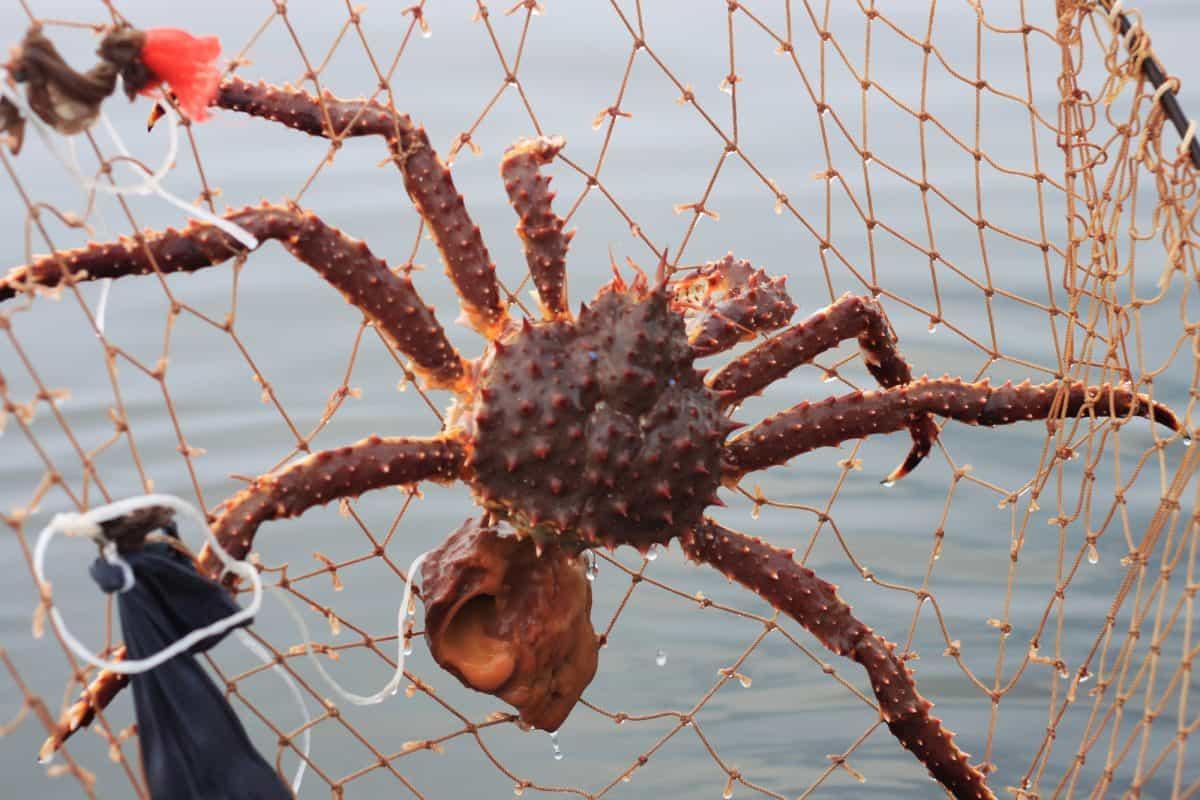 spider crab in crabbing ring