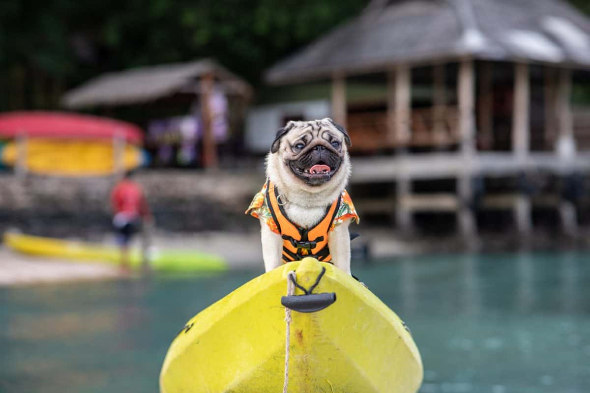 pug wearing life jacket and standing on kayak
