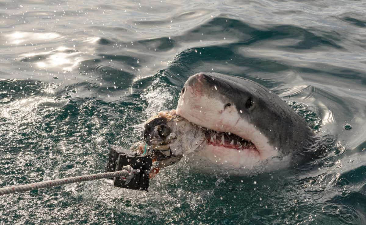 Great white shark with open mouth
