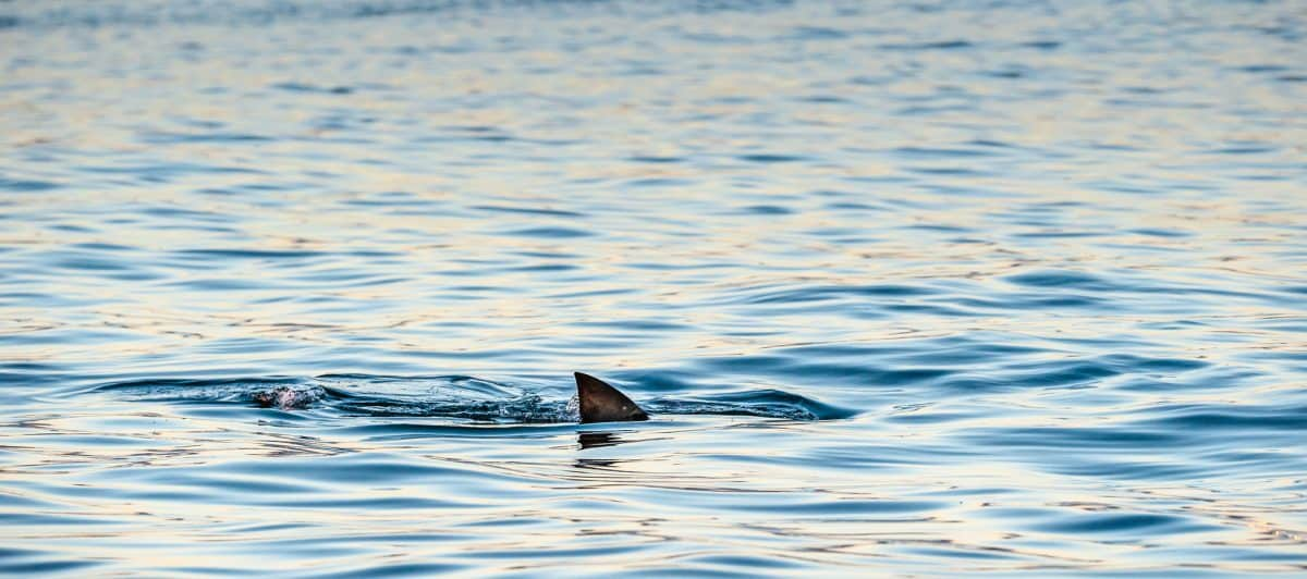 Shark fin on the surface of the ocean.