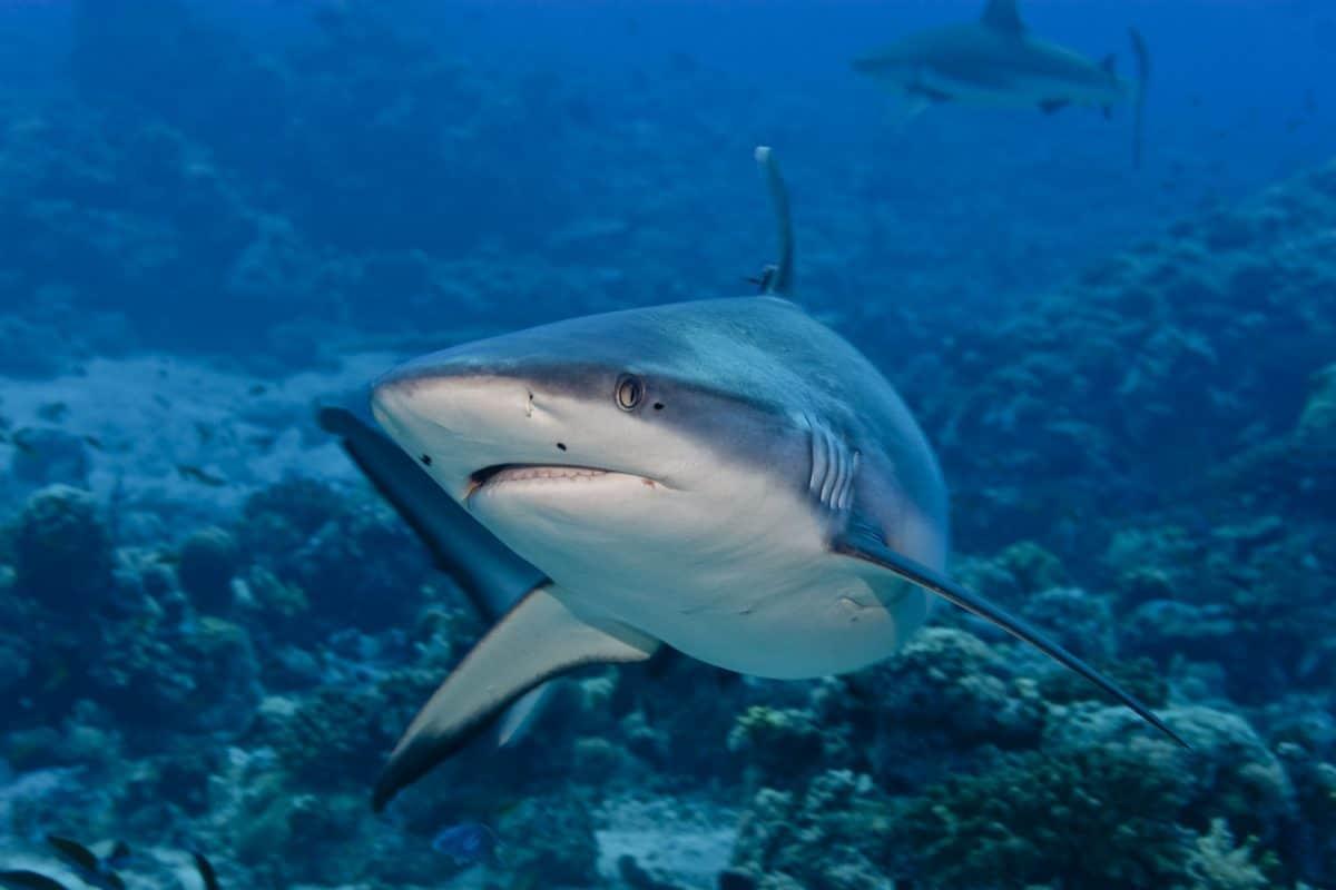 Shark attack underwater