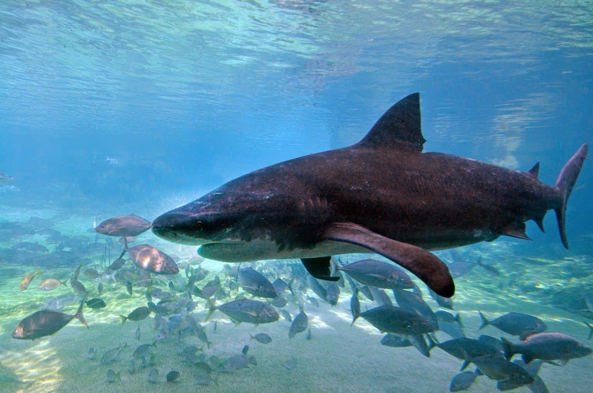 Bull shark in Sea World Gold Coast Australia